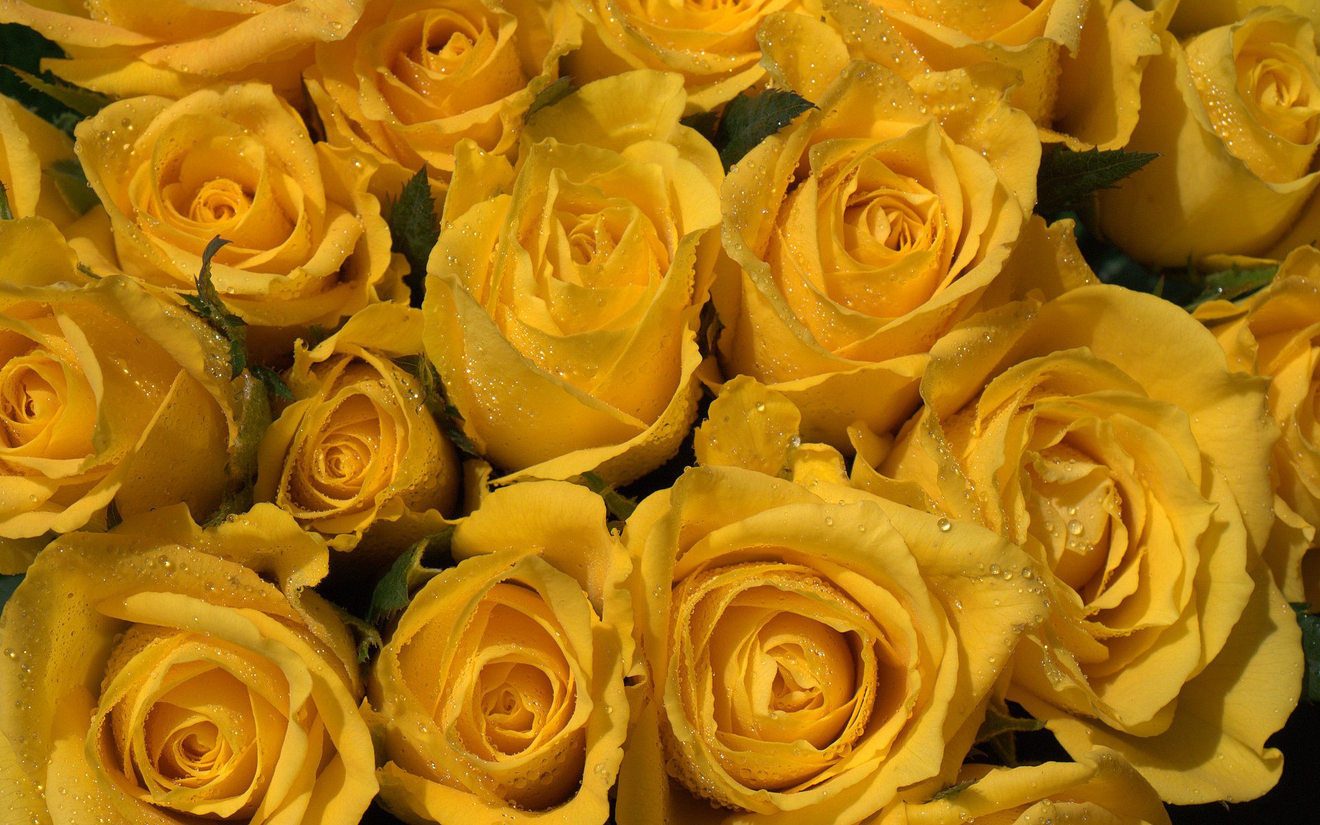 wallpaper of yellow roses - photo #37