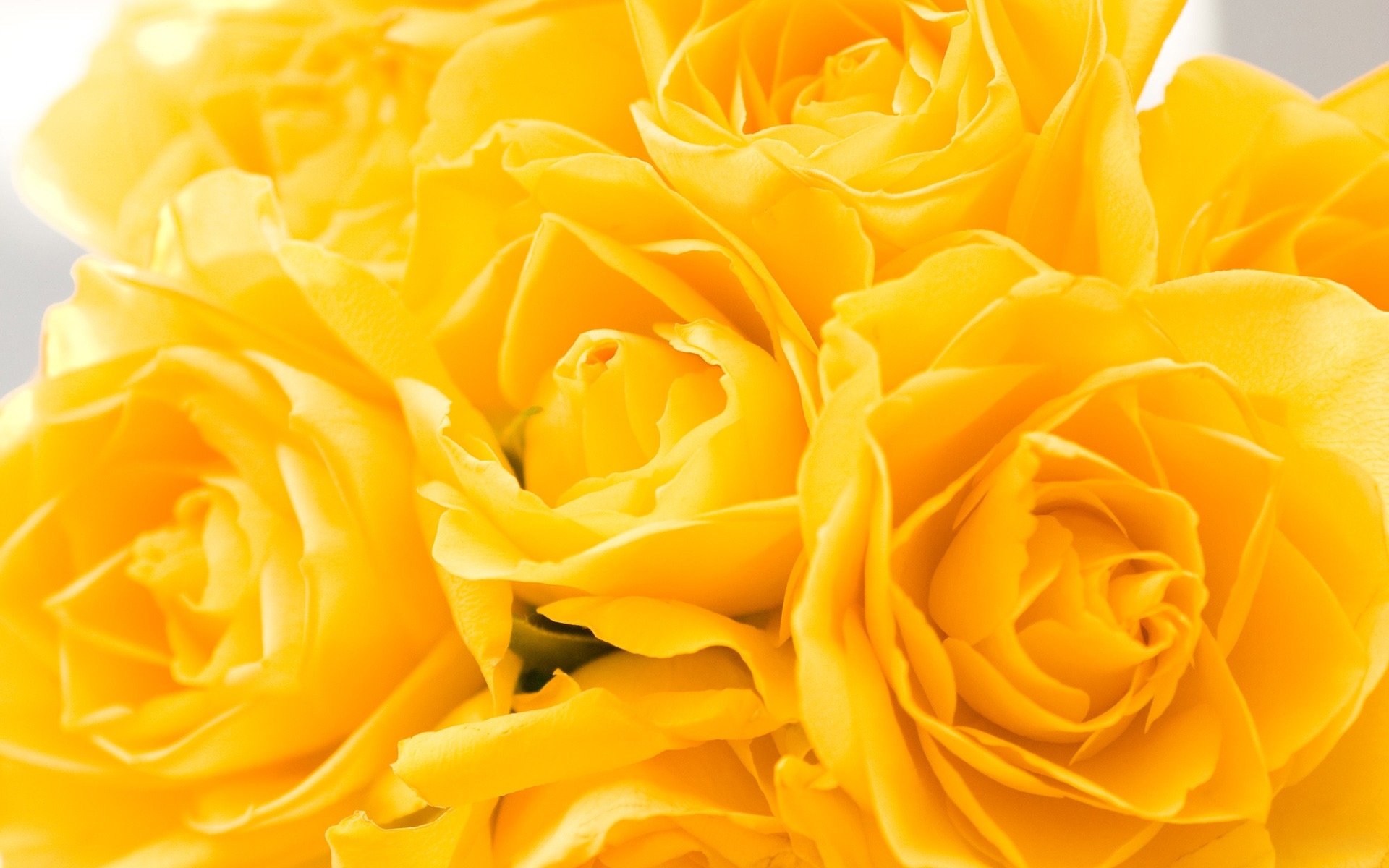 wallpaper of yellow roses - photo #14
