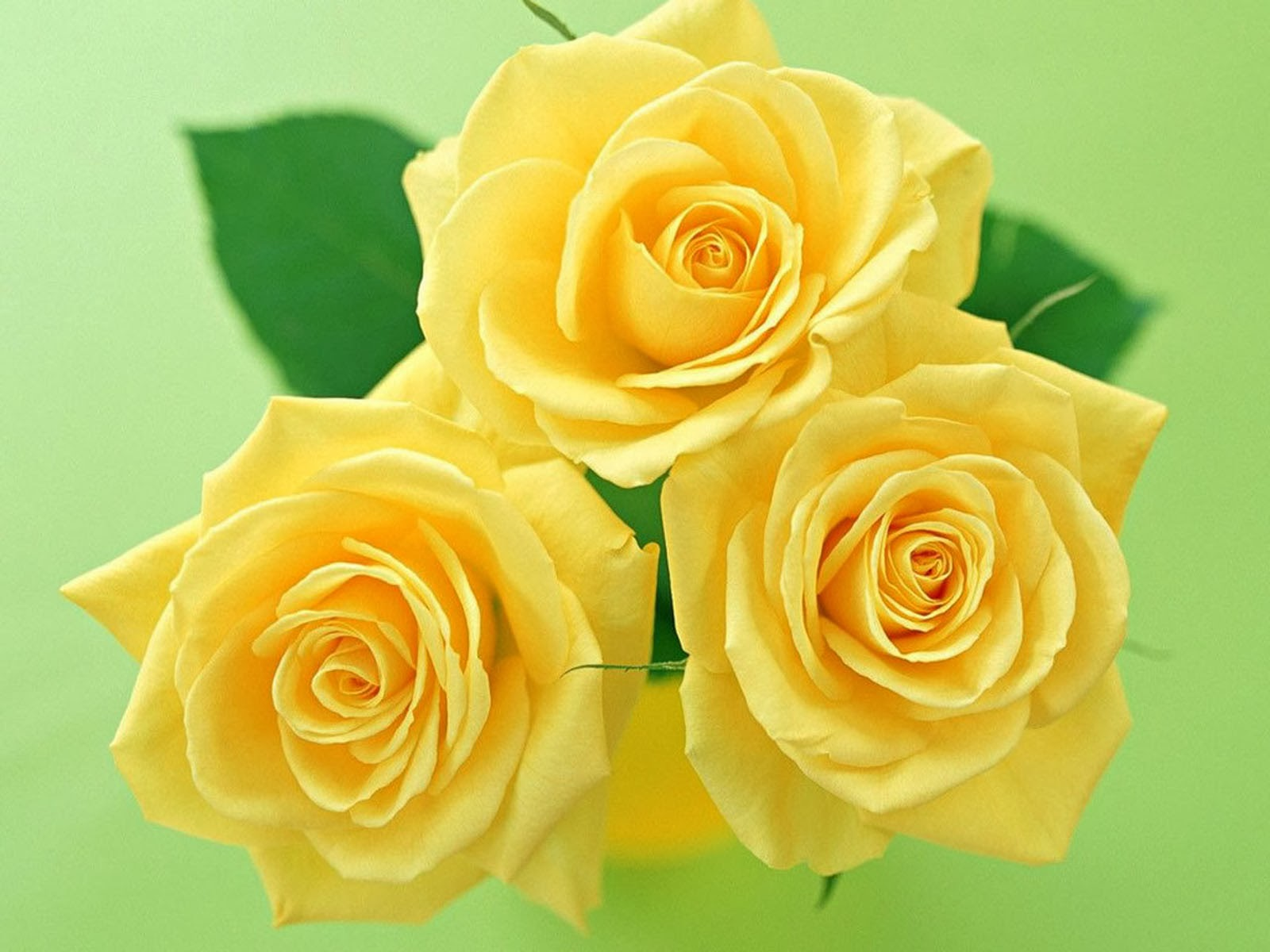 Yellow Roses Wallpaper High Definition High Quality Widescreen