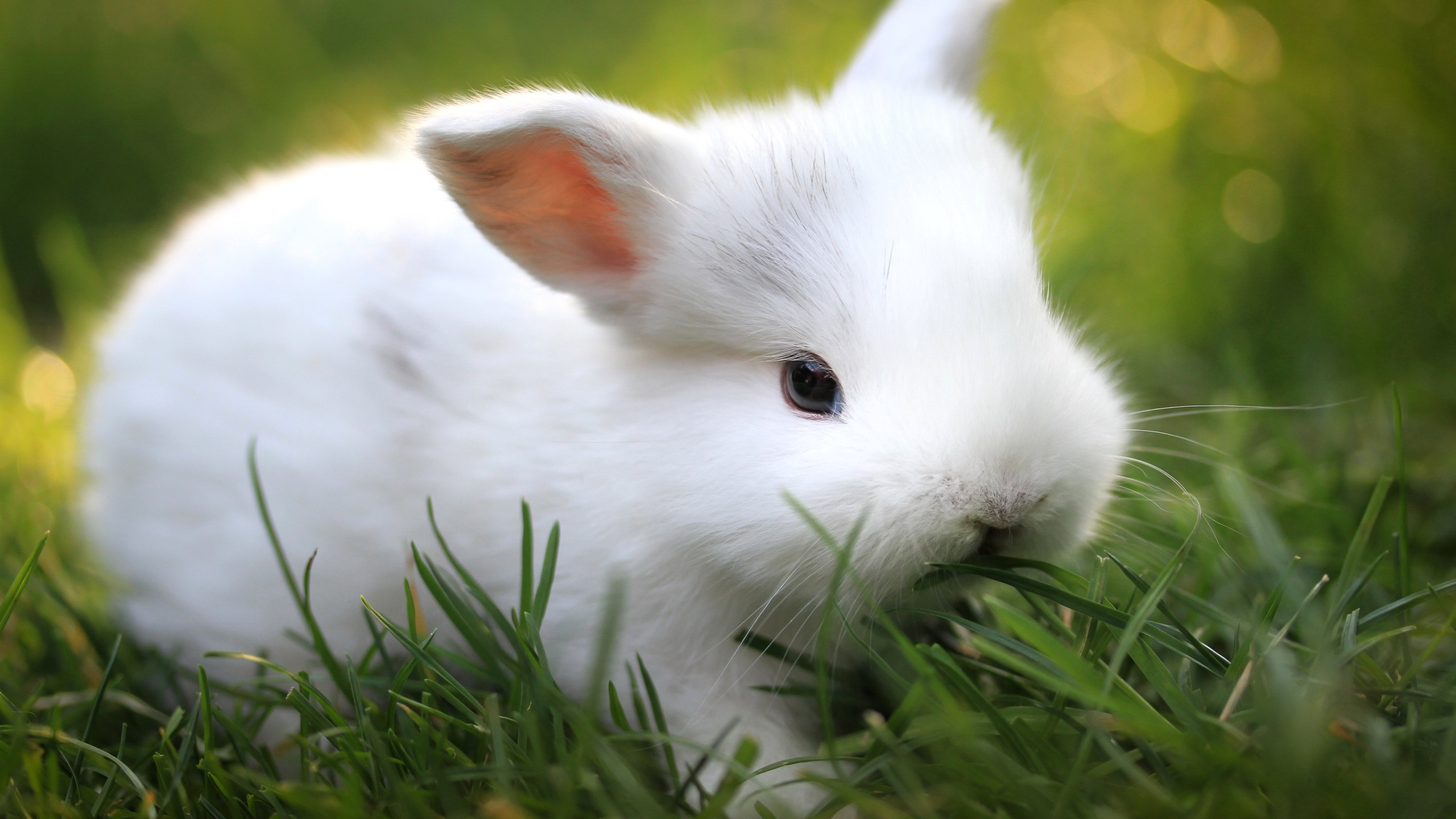 Cute White Rabbit Wallpapers For Desktop: Wallpaper, High Definition, High Quality