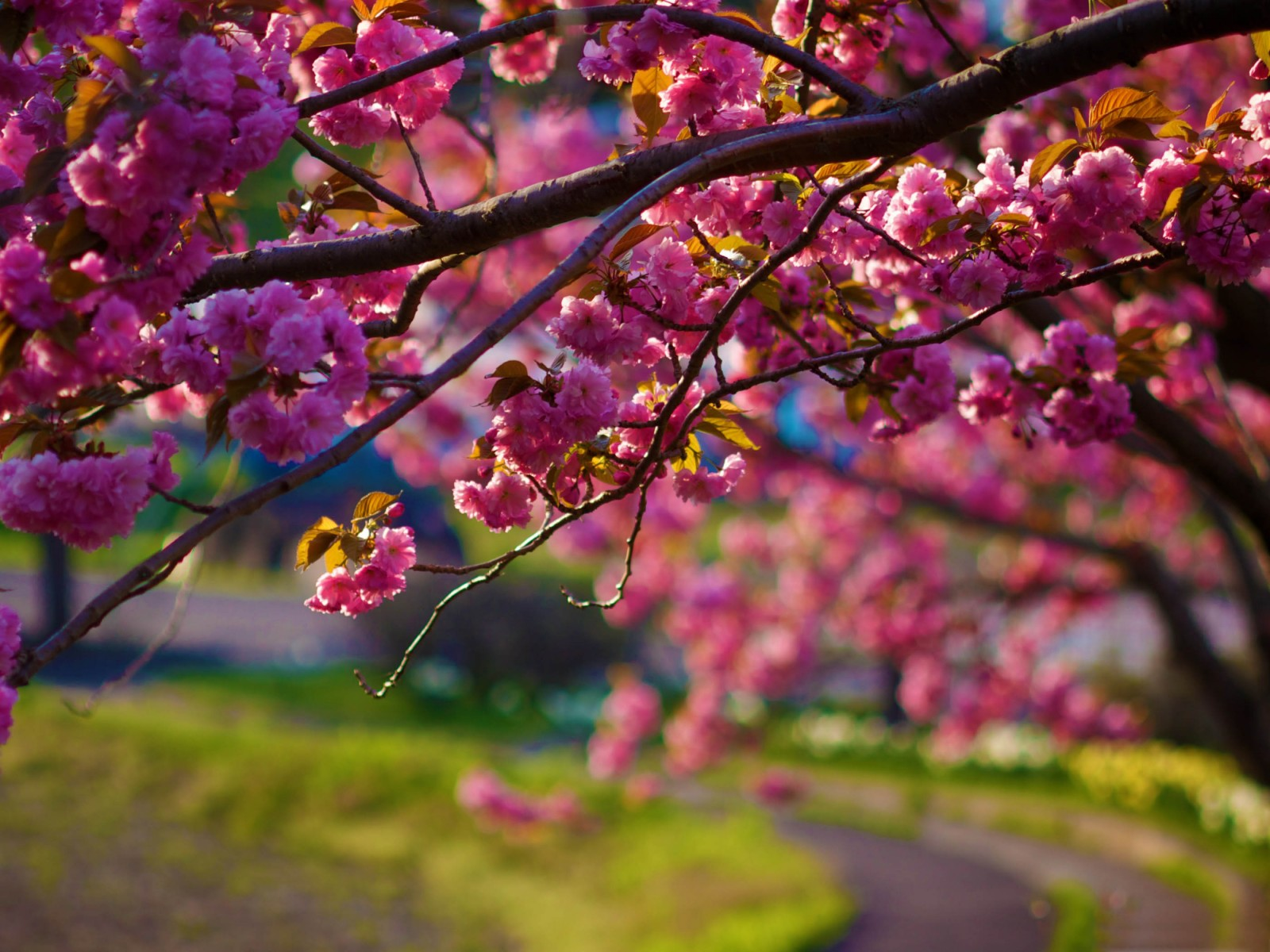 Pink Cherry Blossoms widescreen wallpaper