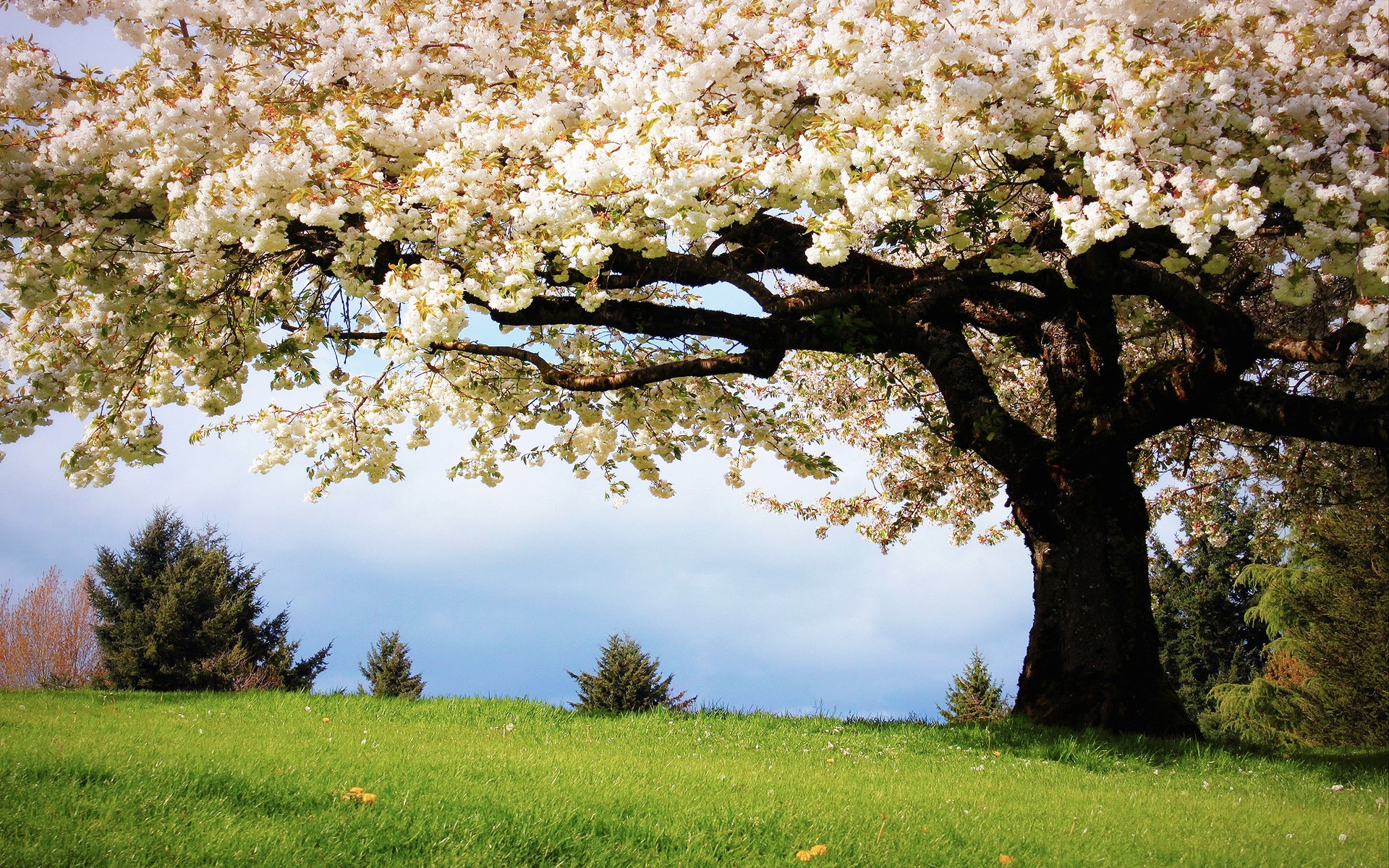 Spring Cherry Pictures - Wallpaper, High Definition, High ...