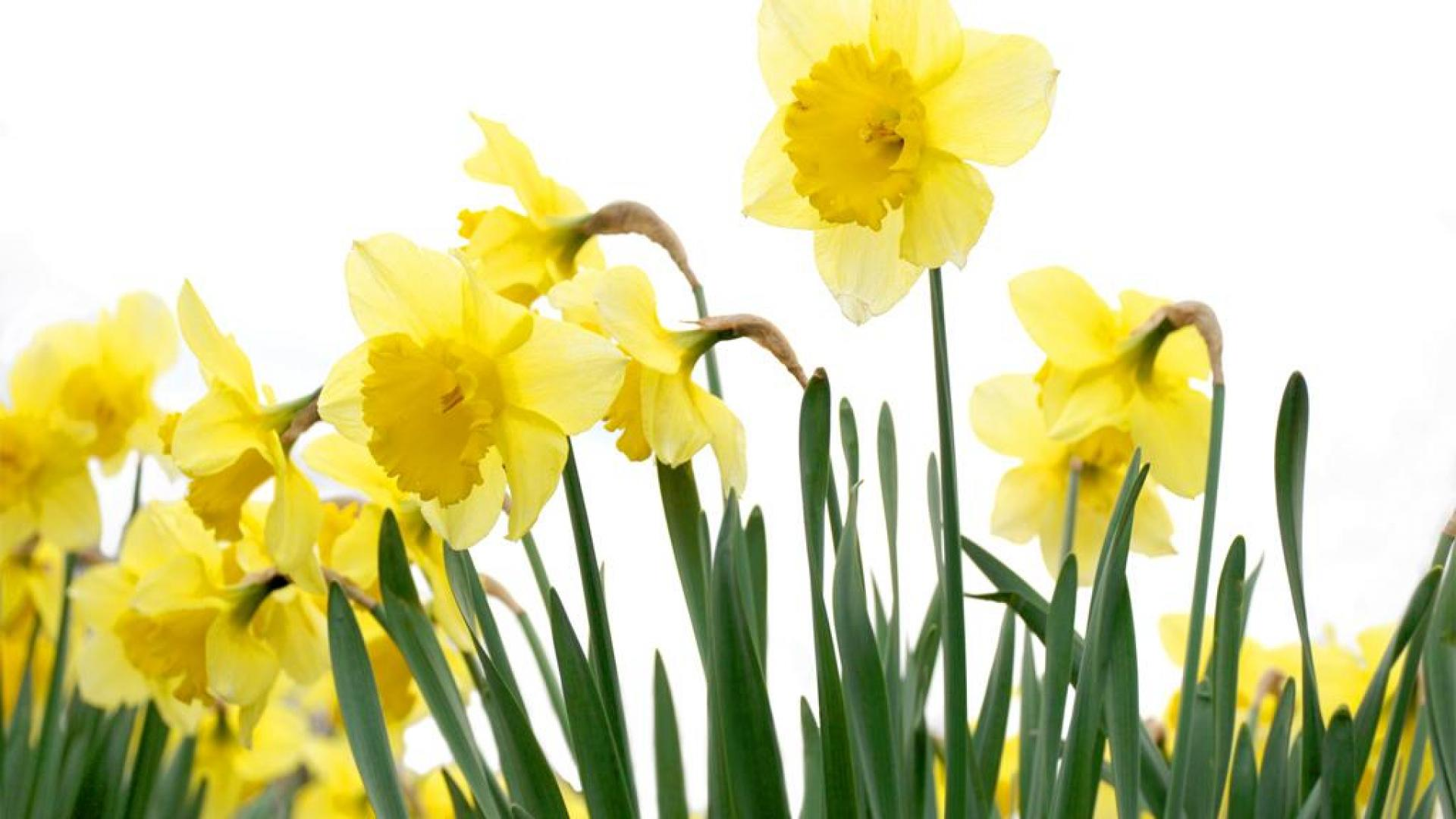 spring daffodil - wallpaper, high definition, high quality, widescreen