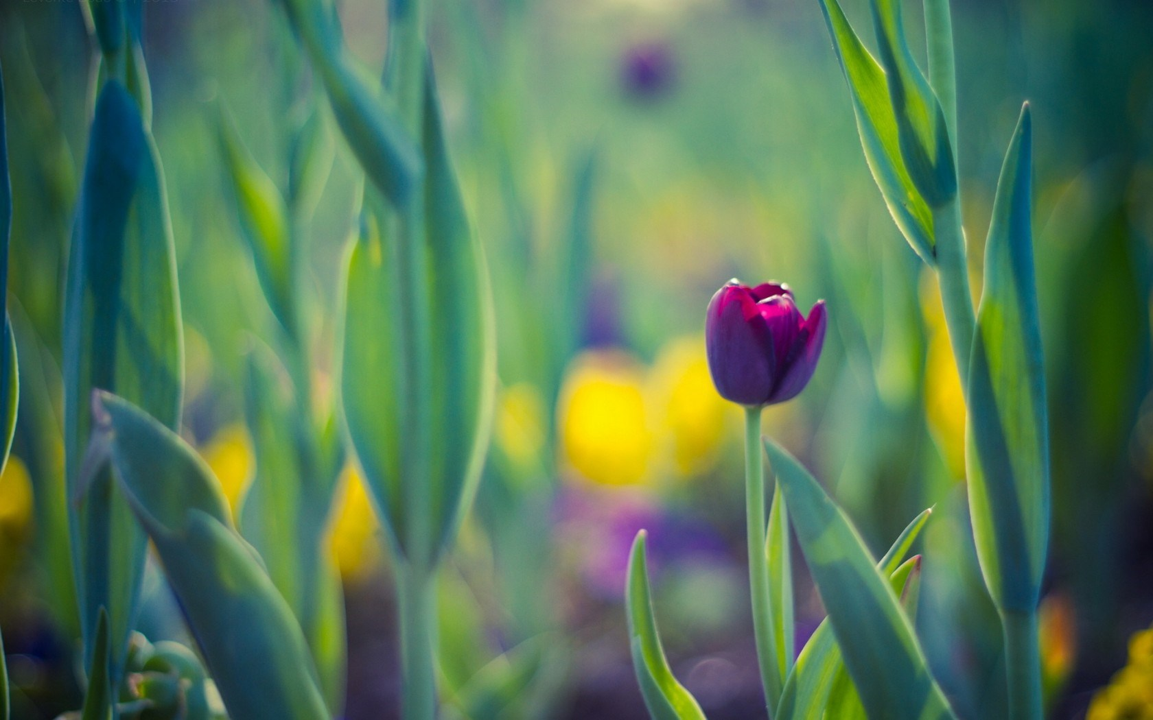 Download wallpapers yellow tulips purple tulips a bouquet of