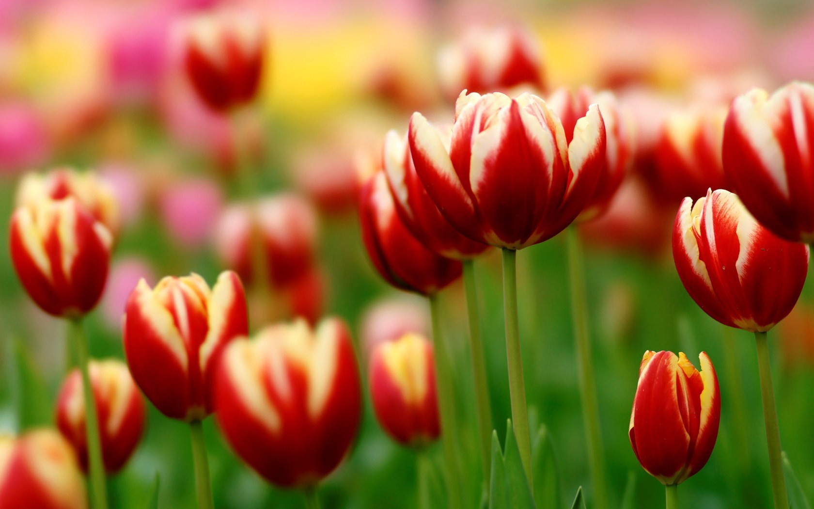 spring city tulips wallpaper - photo #44