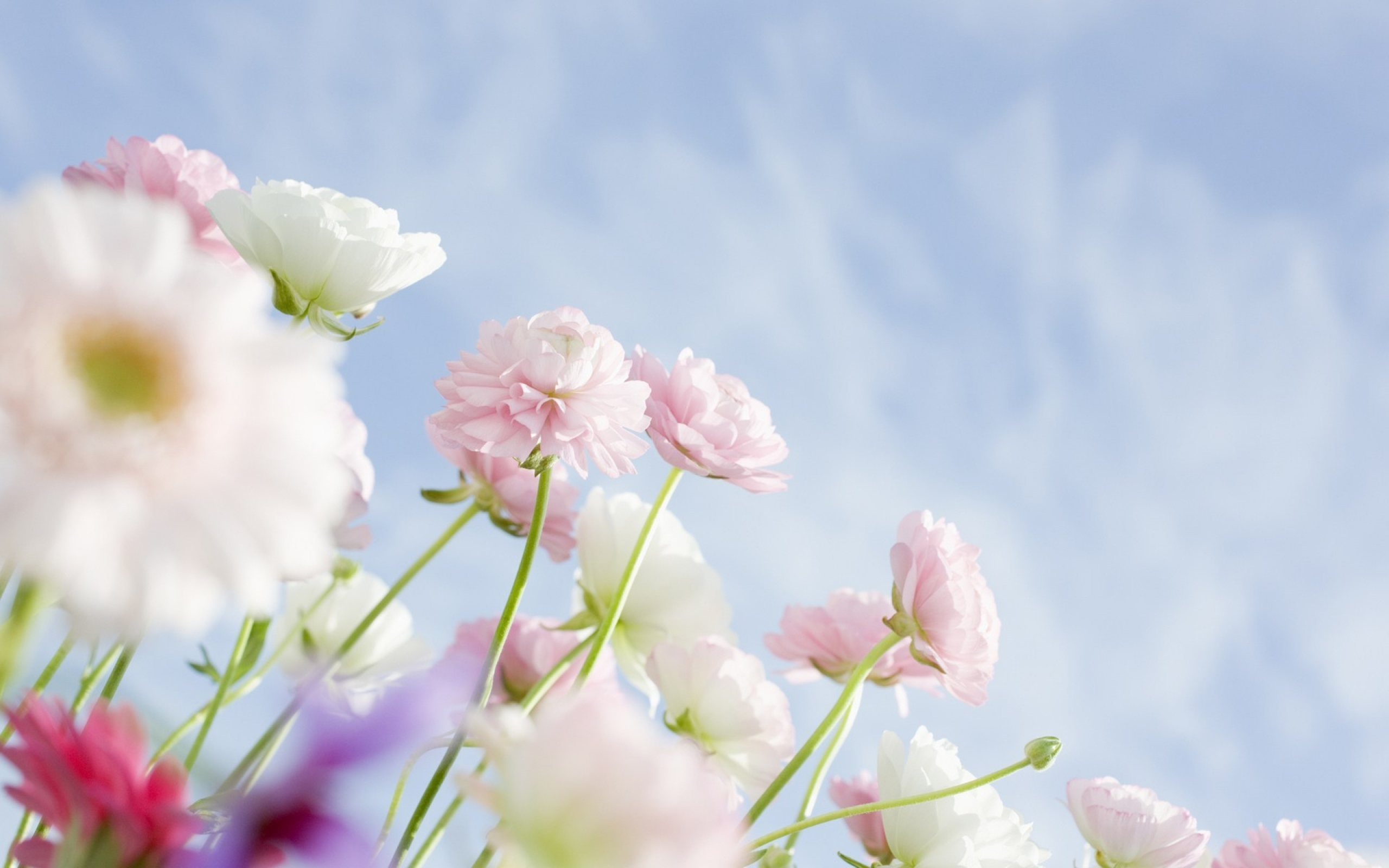 Spring White Flower Wallpaper High Definition High Quality