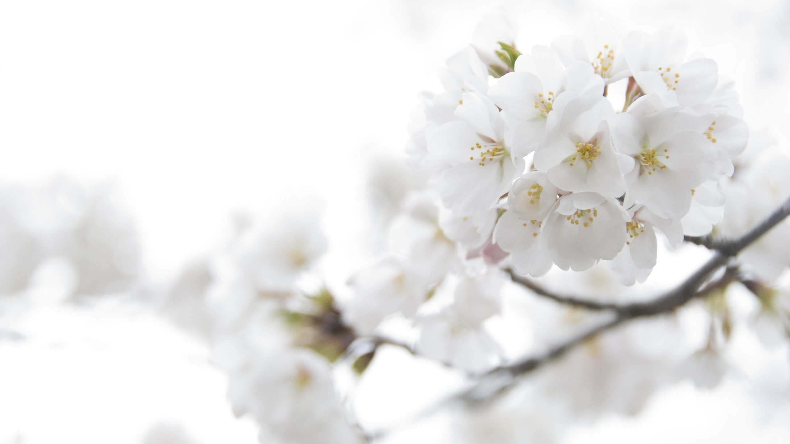 Spring White Flowers Wallpaper High Definition High Quality