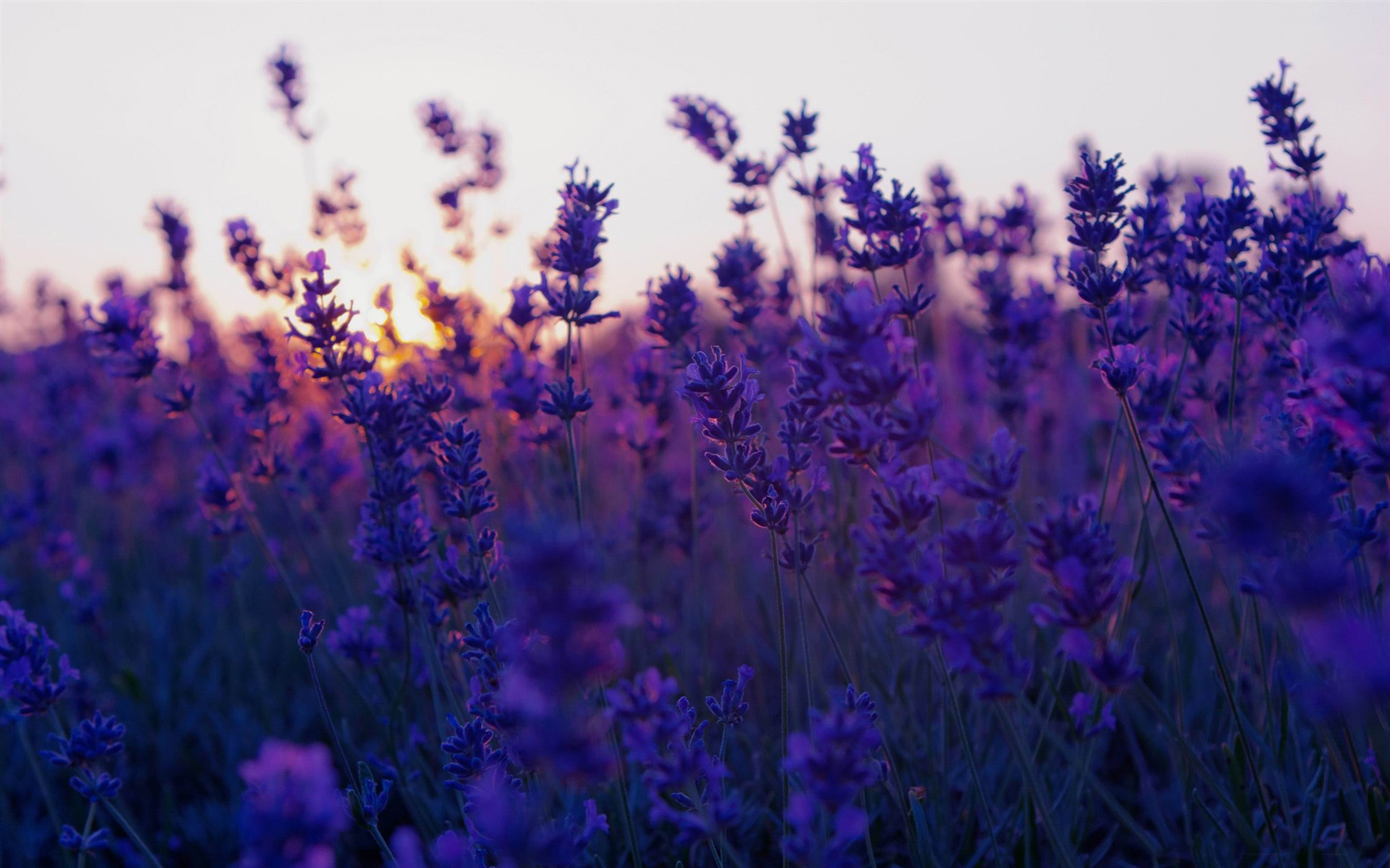 summer purple flowers - wallpaper, high definition, high quality