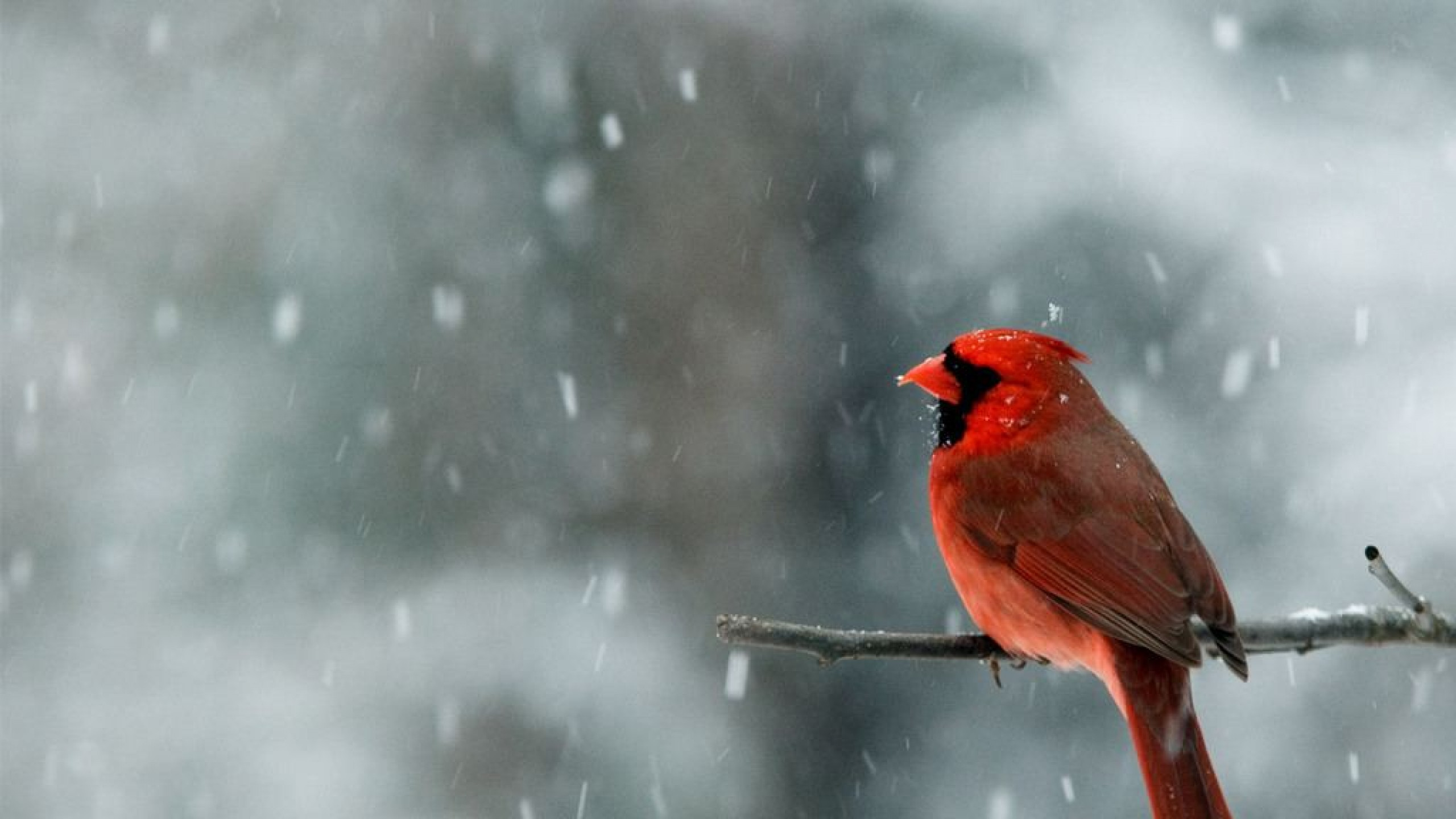 Snow falling wallpaper high definition high quality - Winter cardinal background ...