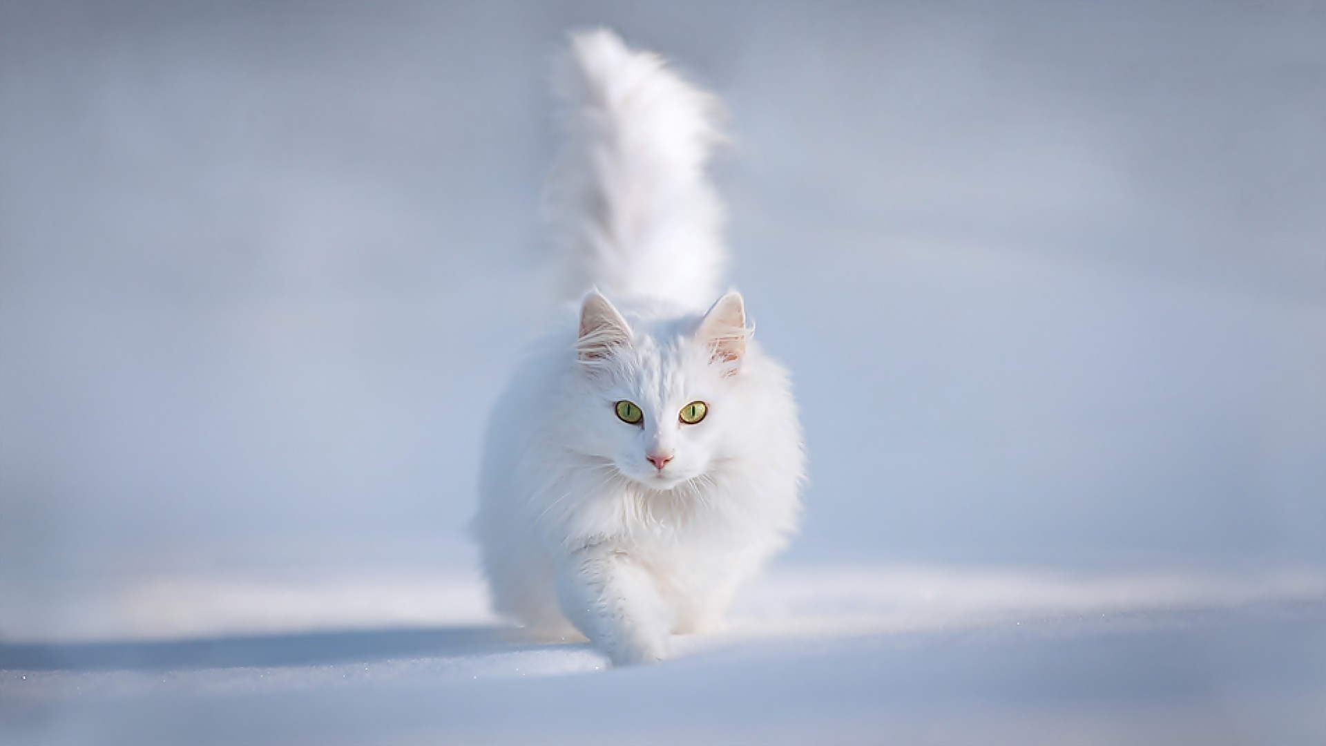 snow white cat - wallpaper, high definition, high quality, widescreen