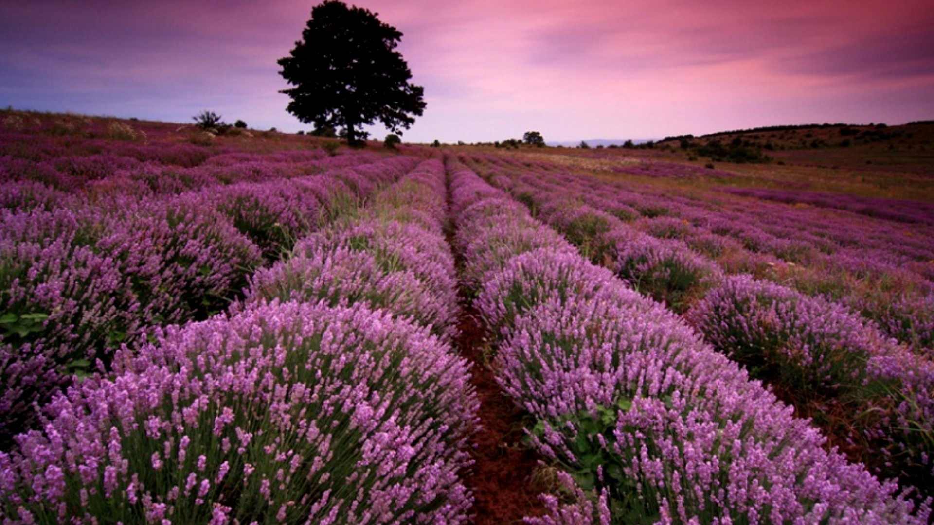 lavender desktop backgrounds