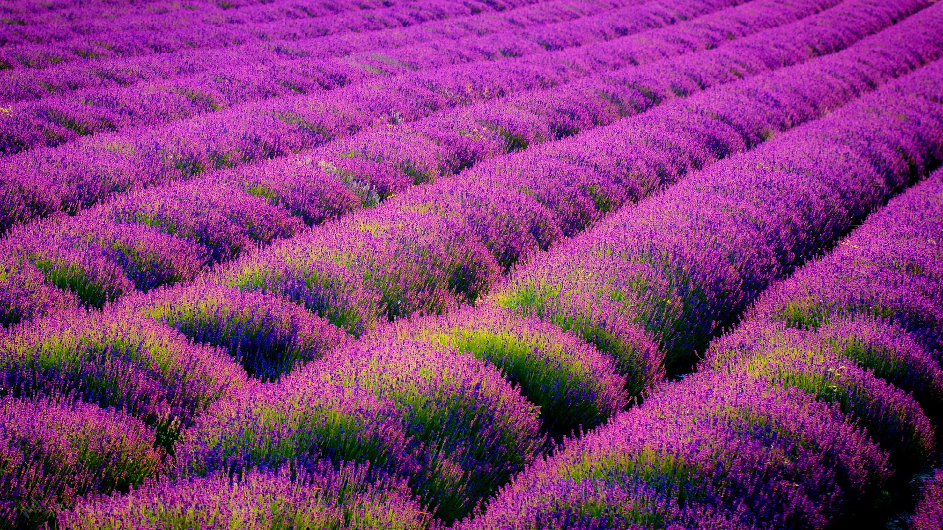 Lavender Field Wallpaper - Wallpaper, High Definition ...