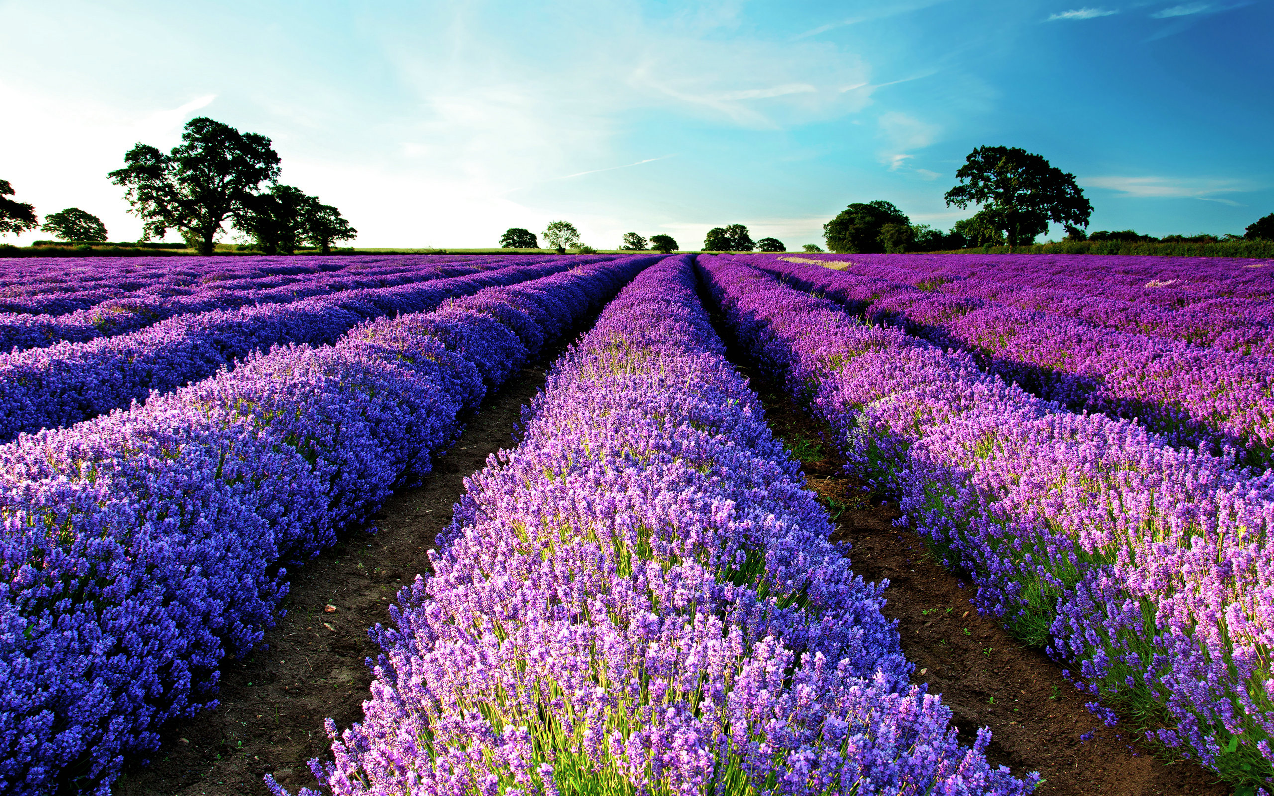 Lavender Field - Wallpaper, High Definition, High Quality ...