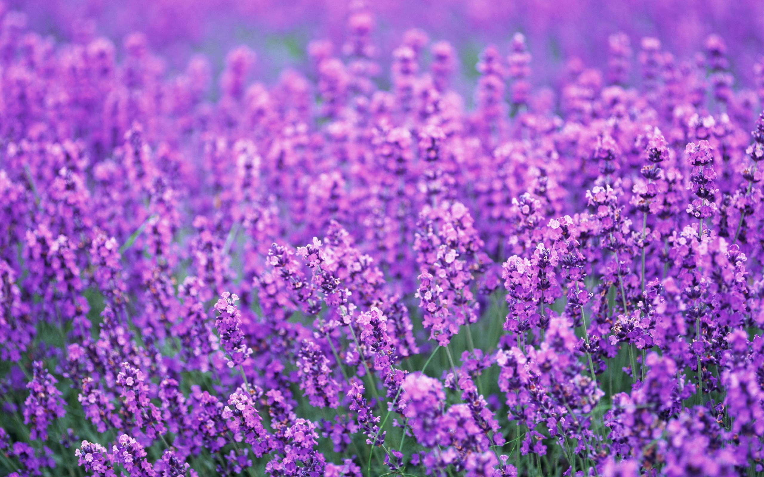 Lavender Flowers Desktop Background - Wallpaper, High ...