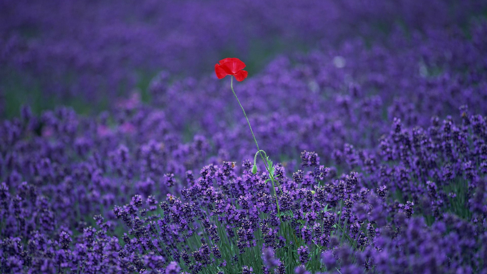 Lavender HD Wallpapers - Wallpaper, High Definition, High ...