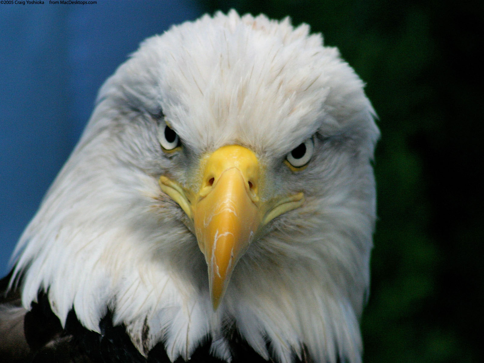 bald eagle wallpaper - wallpaper, high definition, high quality