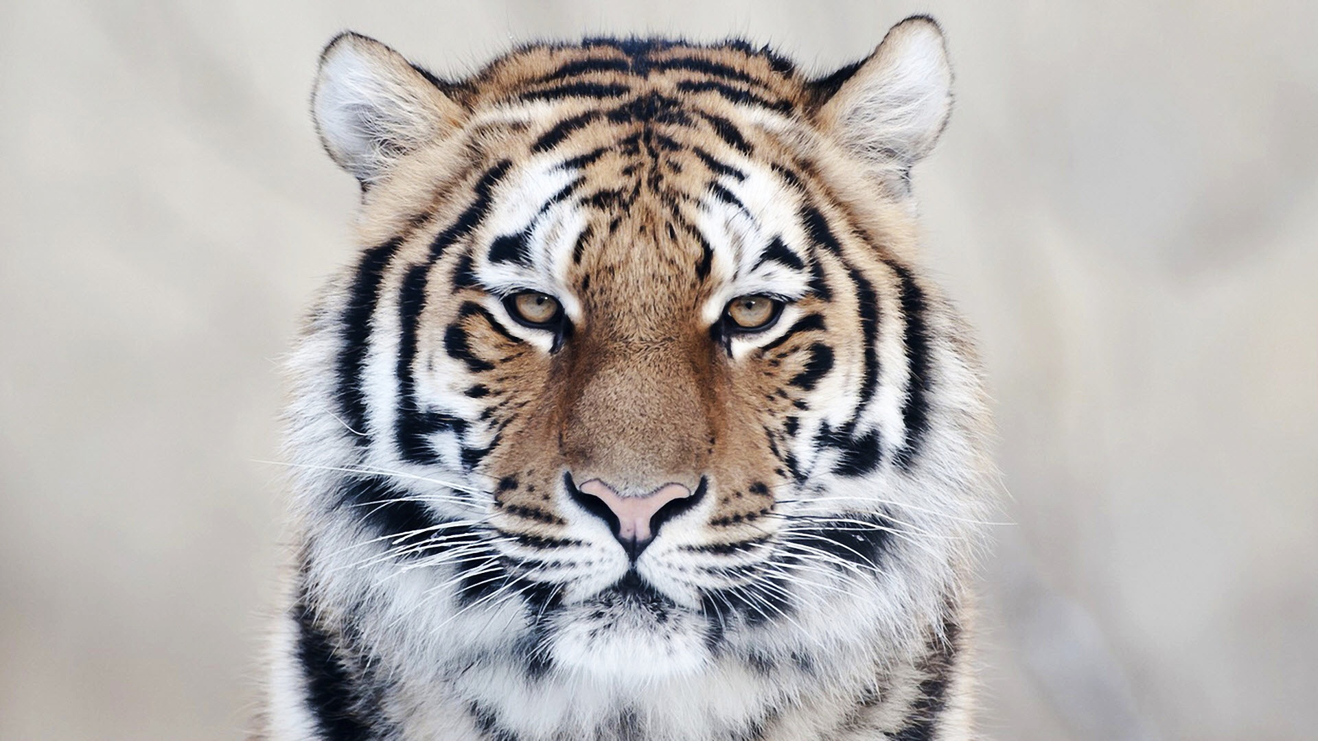 Wonderful Wallpaper High Quality Tiger - tiger-close-up_105434725  Gallery_545458.jpg