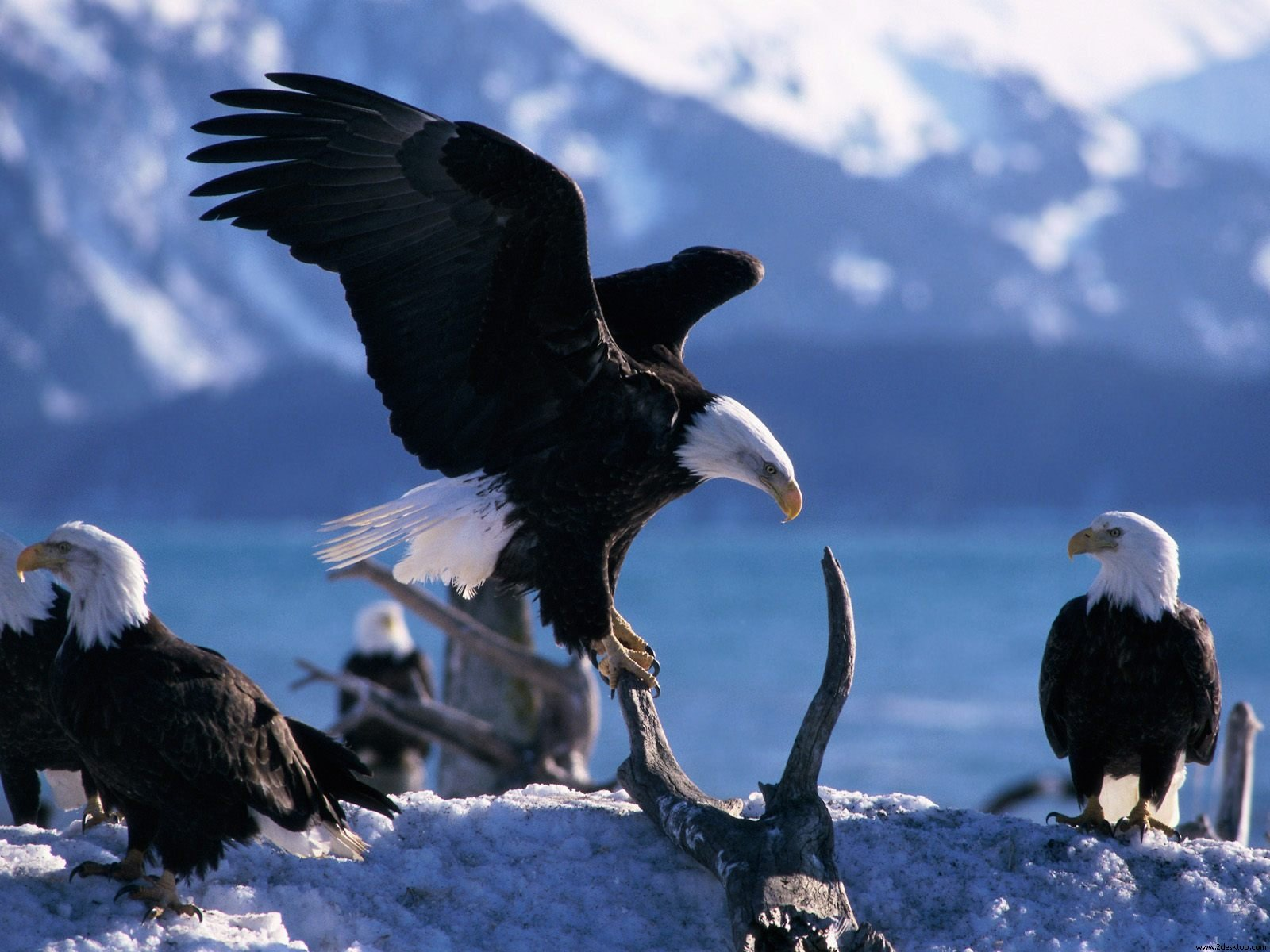 Wings Extended Bald Eagles Wallpaper High Definition