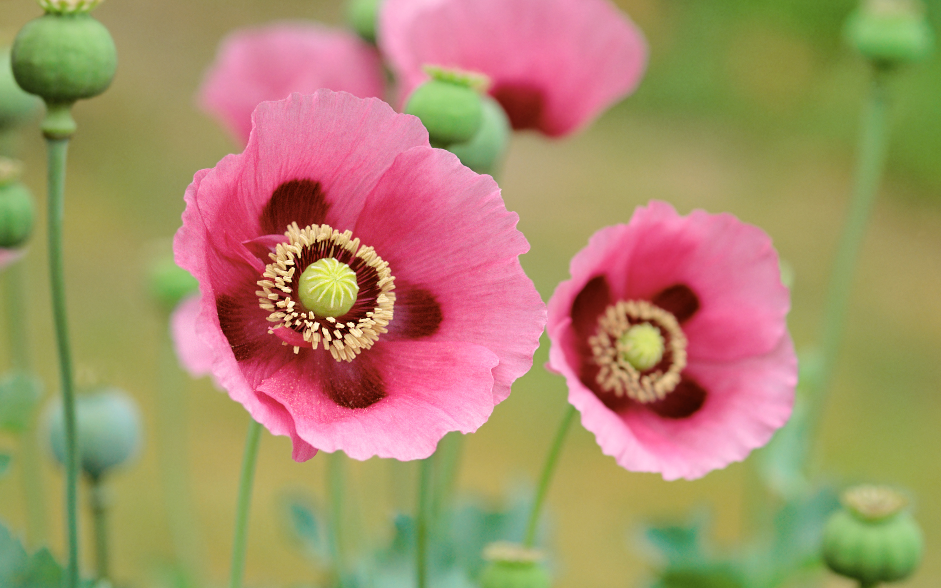 Poppies Flowers Wallpaper High Definition High Quality Widescreen