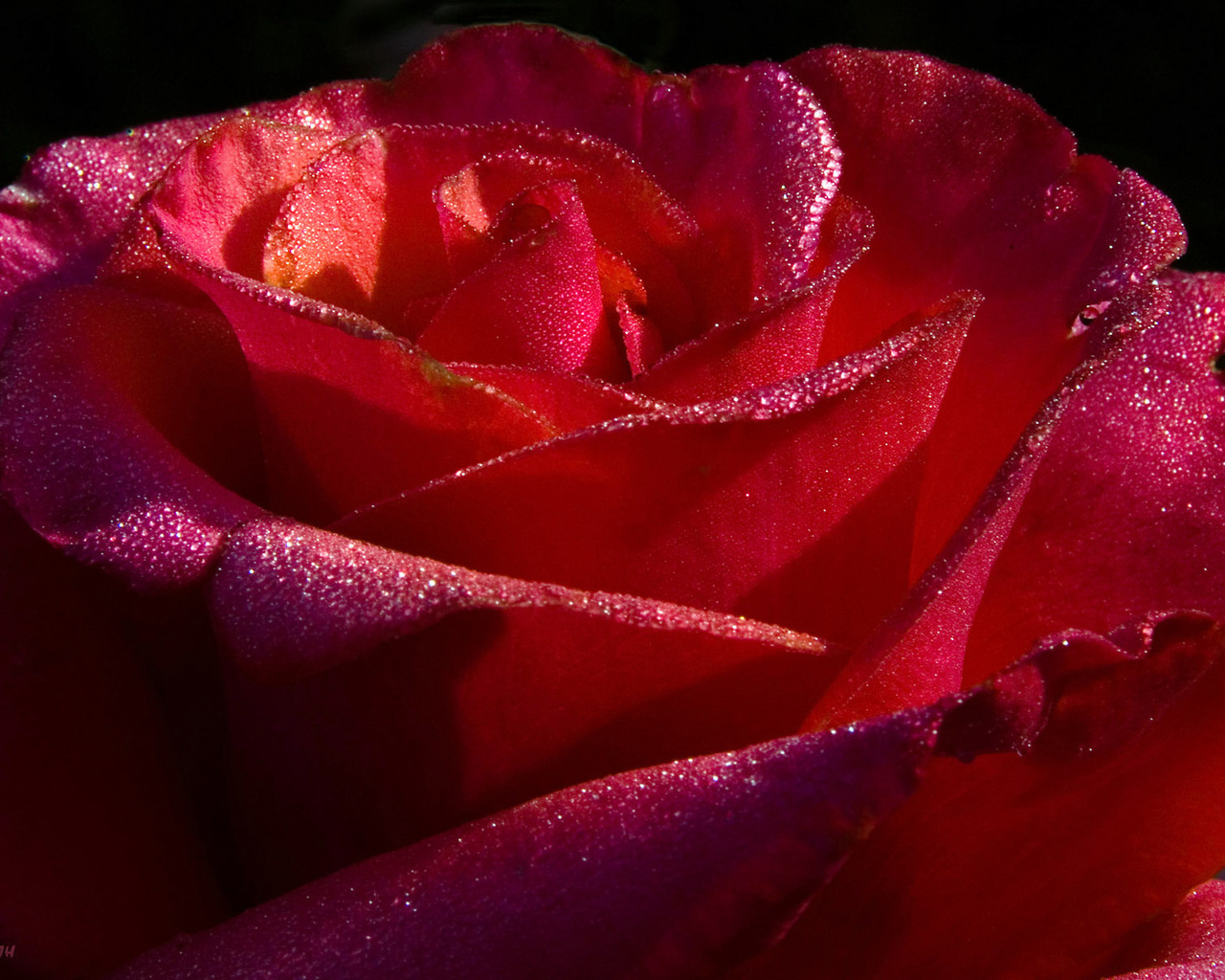 red roses wallpapers - photo #28
